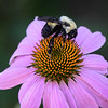 Brown-belted bumble bee on Echinacea.
