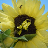 Three kinds of bees on  mutated sunflower.