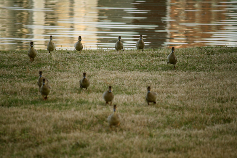 Ducklings: here they come!!!!