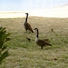 And the geese...and their goslings!!!!