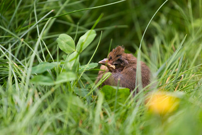 A baby cardinal in the yard.