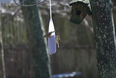Finches.
