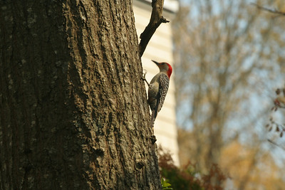Woodpeckers.