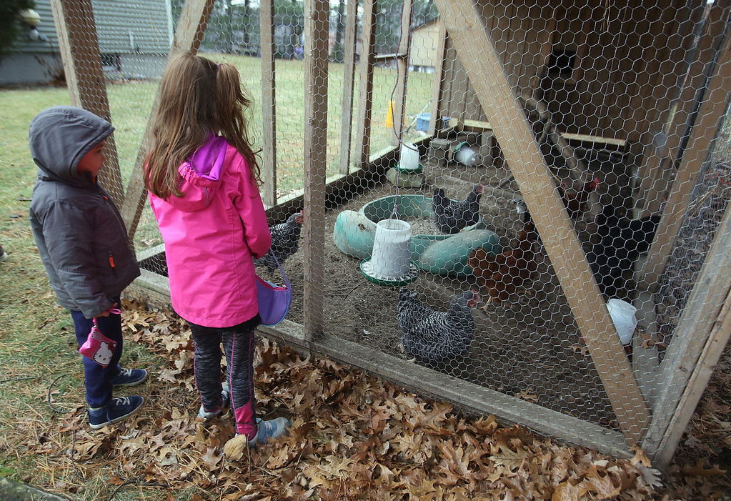 . William, 4, and sister Evelyn Melville, 6, of Chelmsford watch their family\'s chickens in the run area of the coop. They have eight chickens including Rhode Island Reds, Black Australorps and Barred Rocks. (SUN/Julia Malakie)