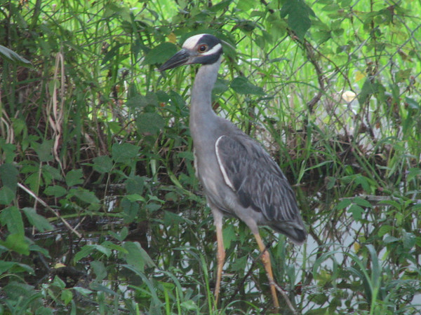 Yellow-crowned night heron visiting our marshy backyard dubbed Lake Leatherwood