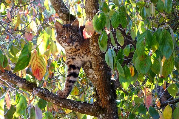 Bobcats(edit)_0021