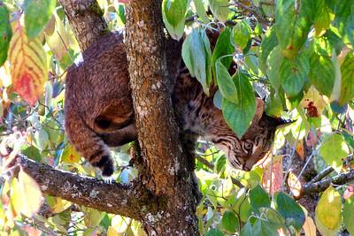 Bobcats(edit)_0013
