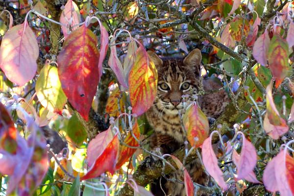 Bobcats(edit)_0001