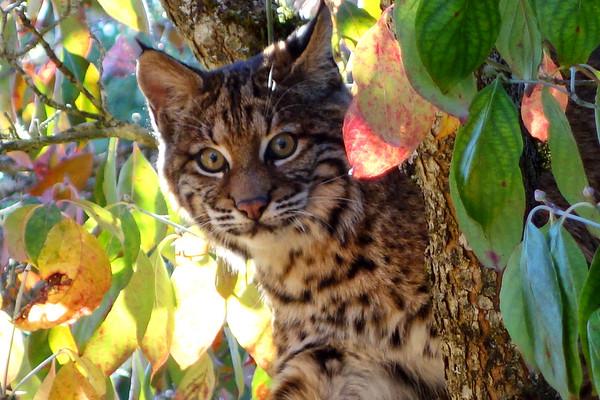 Bobcats(edit)_0036