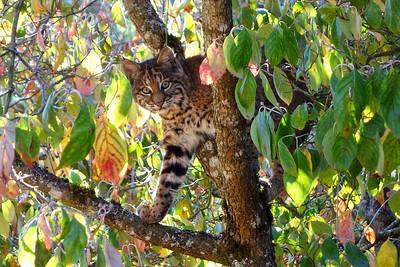 Bobcats(edit)_0019