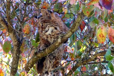 Bobcats(edit)_0002