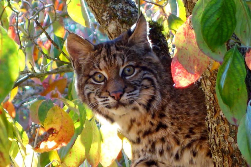 Bobcats(edit)_0034