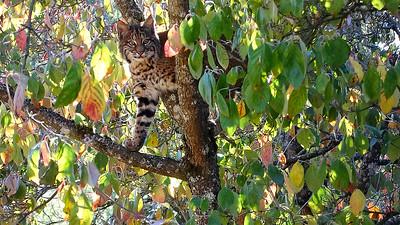 Bobcats(edit)_0017