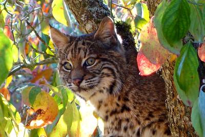 Bobcats(edit)_0032