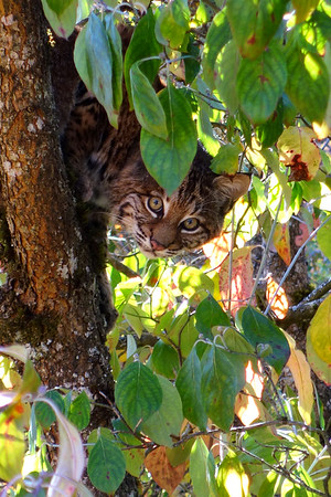 Bobcats(edit)_0012