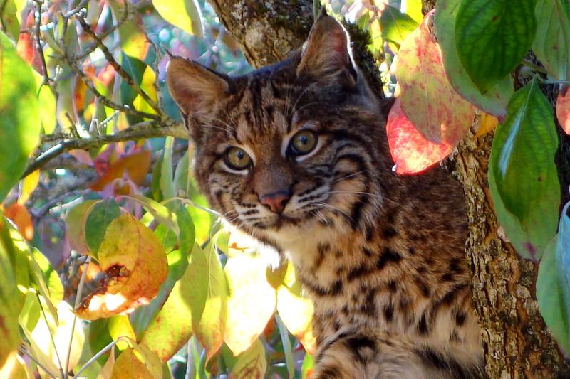 Bobcats(edit)_0035