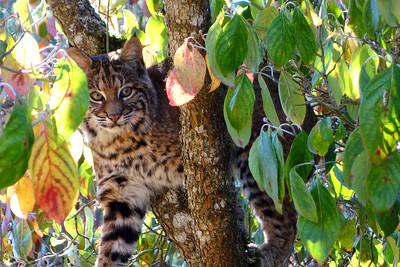 Bobcats(edit)_0028