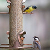 Lesser Goldfinch and Black-capped Chickadee