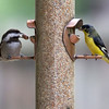 Black-capped Chickadee and Lesser Goldfinch