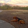 Tucson Airedale Ranch<br /> Buddy