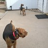 Tucson Airedale Ranch<br /> Buddy and Bailey