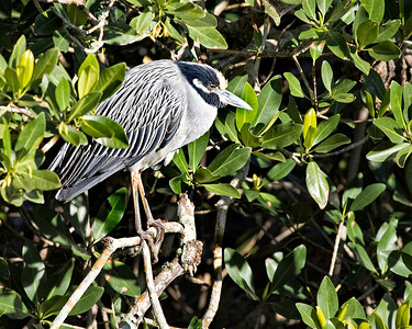 Yellow crowned night-heron in the place I always see him