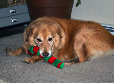 Bailey Loved his Christmas Toy!