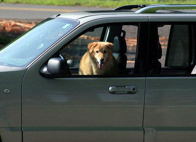 His favorite past time, riding in the car.. happy dog!