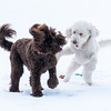 dogs snow-07689