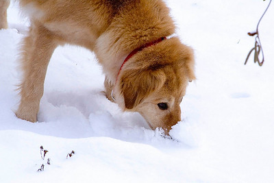FOr some strange reason, He always stuck his nose in the snow..