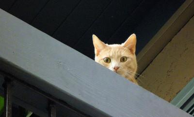 Hobbes the original Balcony Cat