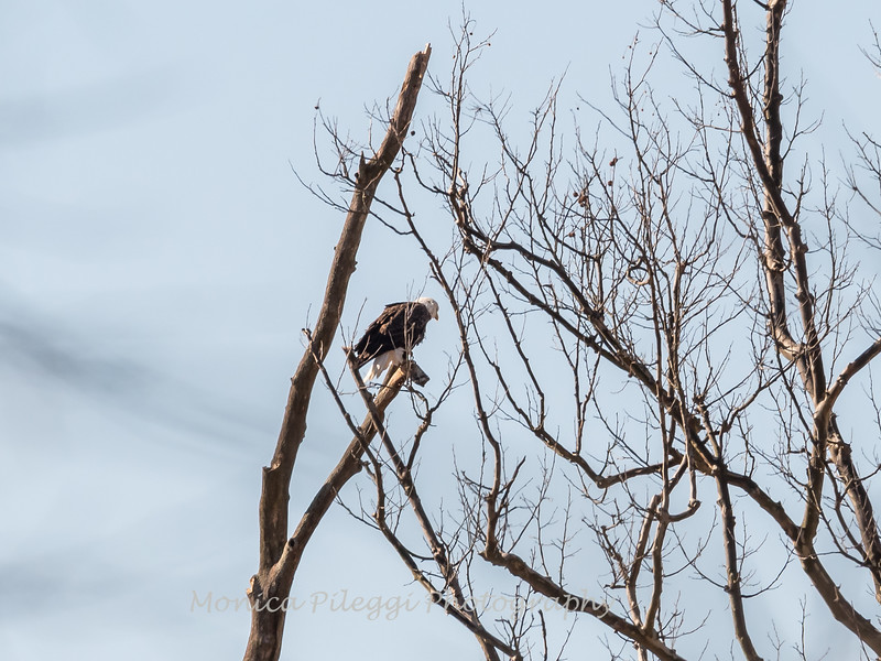 Possibly the male eagle keeping an eye on the nest.
