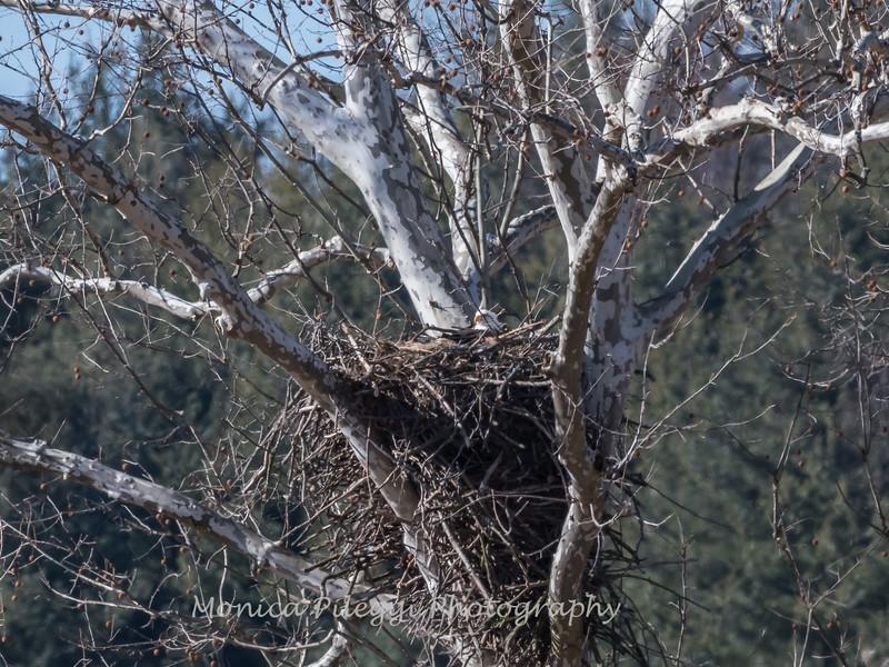 3 February 2018:  Mom possibly incubating eggs