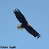 Bald Eagle : Bald Eagles  in Watsonville?? yes, there is a breeding pair but I could only find one of them.