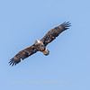 Eagles Conowingo Dam 14 Apr 2018-7591