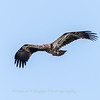 Eagles Conowingo Dam 14 Apr 2018-7750