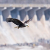 Eagles Conowingo Dam 14 Apr 2018-7768