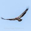 Eagles Conowingo Dam 14 Apr 2018-7748