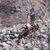Eagles Conowingo Dam 14 Apr 2018-7706