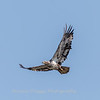 Eagles Conowingo Dam 14 Apr 2018-7733