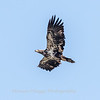 Eagles Conowingo Dam 14 Apr 2018-7684