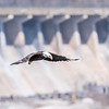 Eagles Conowingo Dam 14 Apr 2018-7767