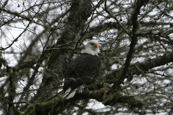 Bald Eagles on the Skagit River 1-1-08
