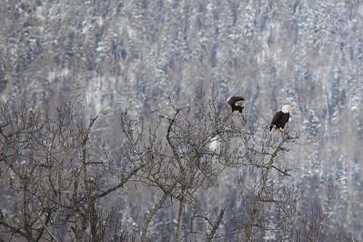 "BALD EAGLE 6166  ""Eagle pair on Grand Portage Bay""  Grand Portage, MN"