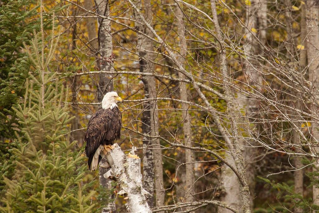 "BALD EAGLE 0180<br /> <br /> ""A chance encounter with a bald eagle 01"""