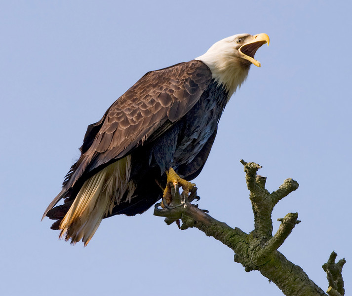 An American bald eagle (Haliaeetus leucocephalus) perched on a branch. Its beak is wide open as it screams in defiance at what is perceived to be predators below.