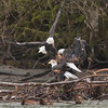 Bald_Eagles_12_19_10_0003a
