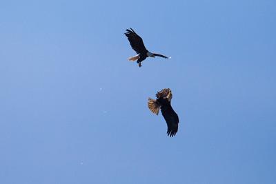 "BALD EAGLE 5896  ""Eagle Acrobatics""  Grand Portage State Park, MN"