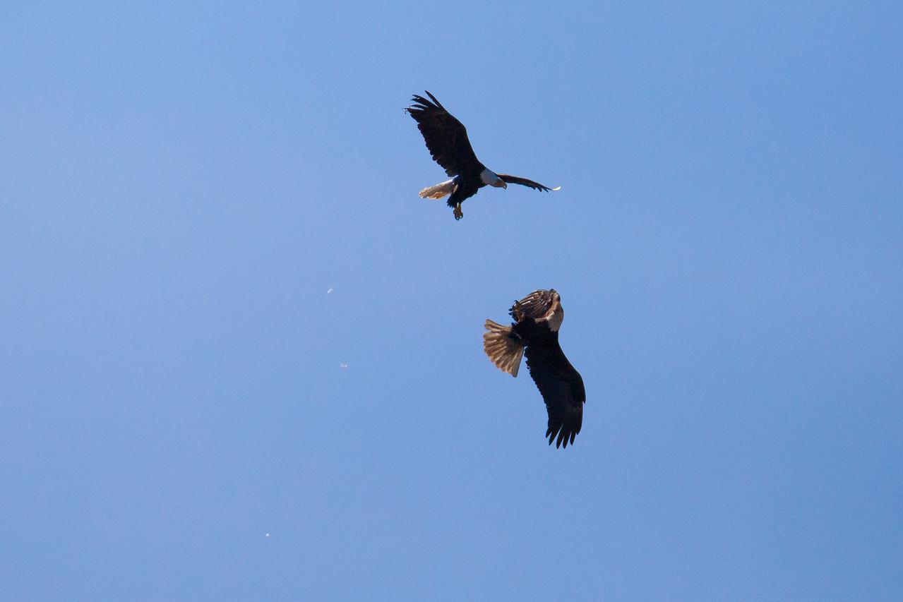 """BALD EAGLE 5896<br /> <br /> """"Eagle Acrobatics""""<br /> <br /> Grand Portage State Park, MN"""