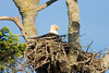 An American bald eagle resting in its nest. The eagle aerie on top of the tree is constructed of hundreds of sticks and can be up to six feet wide. The bald eagle is a symbol of freedom and liberty in the United States.